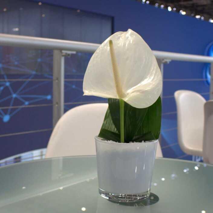Anthurienblüte im Glas