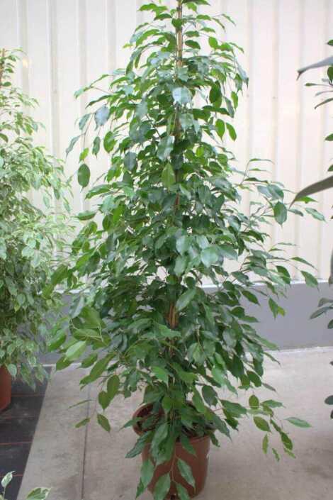 Ficus Bj.