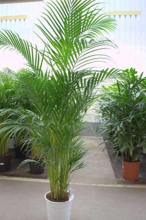 Palme chrysalidocarpus lutescens ca. 180cm
