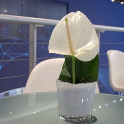 Tischdekoration mit Anthurien - Blüte