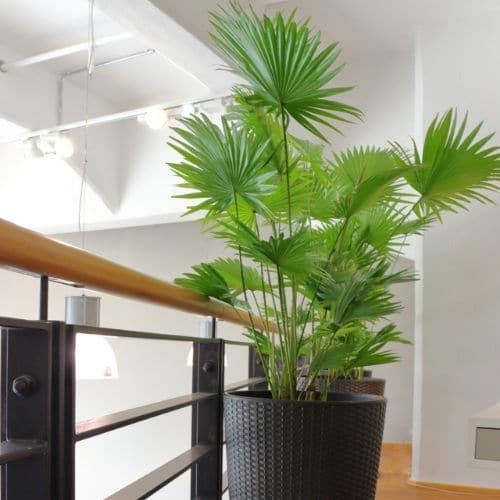 Büro-Pflanzen-Düsseldorf-1