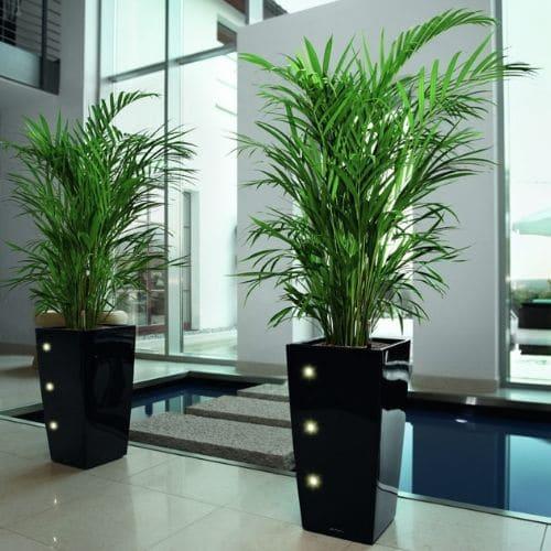 Büro-Pflanzen-Düsseldorf-Bepflanzung-Palmen-1