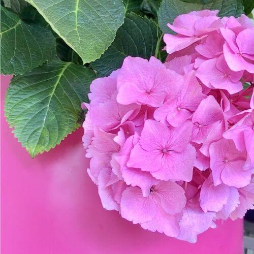 Hortensie-pink