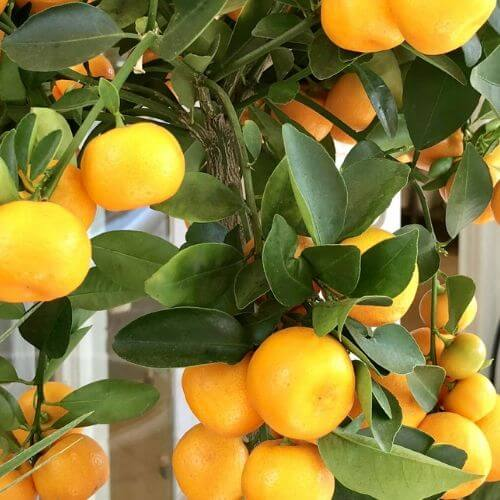 Orangenbaum Düsseldorf