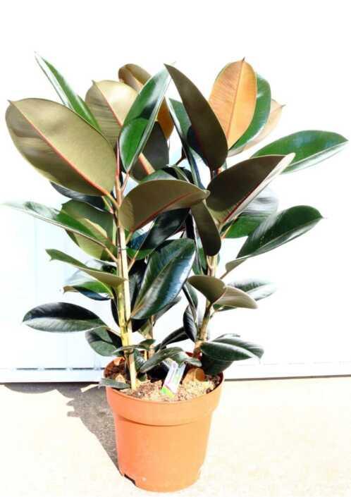 Ficus-E