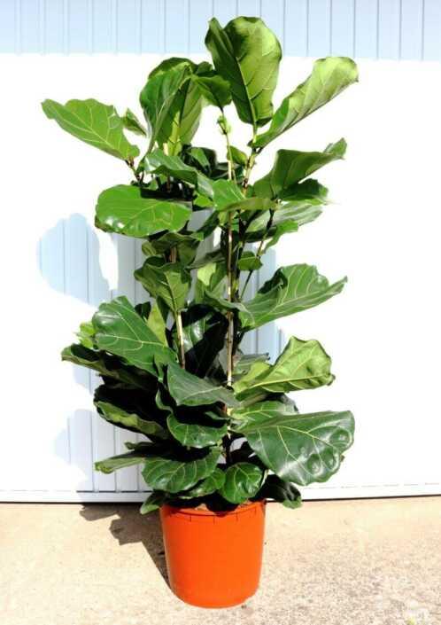 Ficus-L
